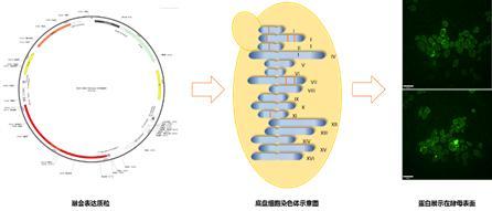 图1 疫苗菌株构建及筛选方案